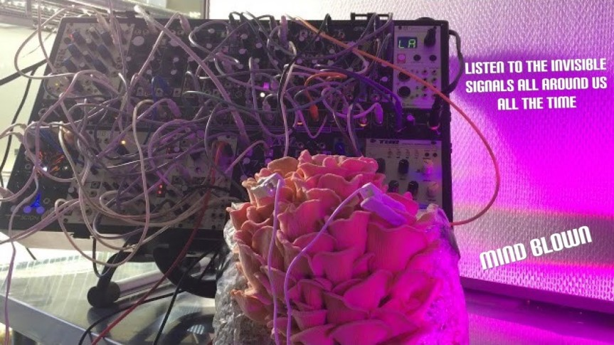 Five Minutes of Pink Oyster Mushroom Playing ModularSynthesizer
